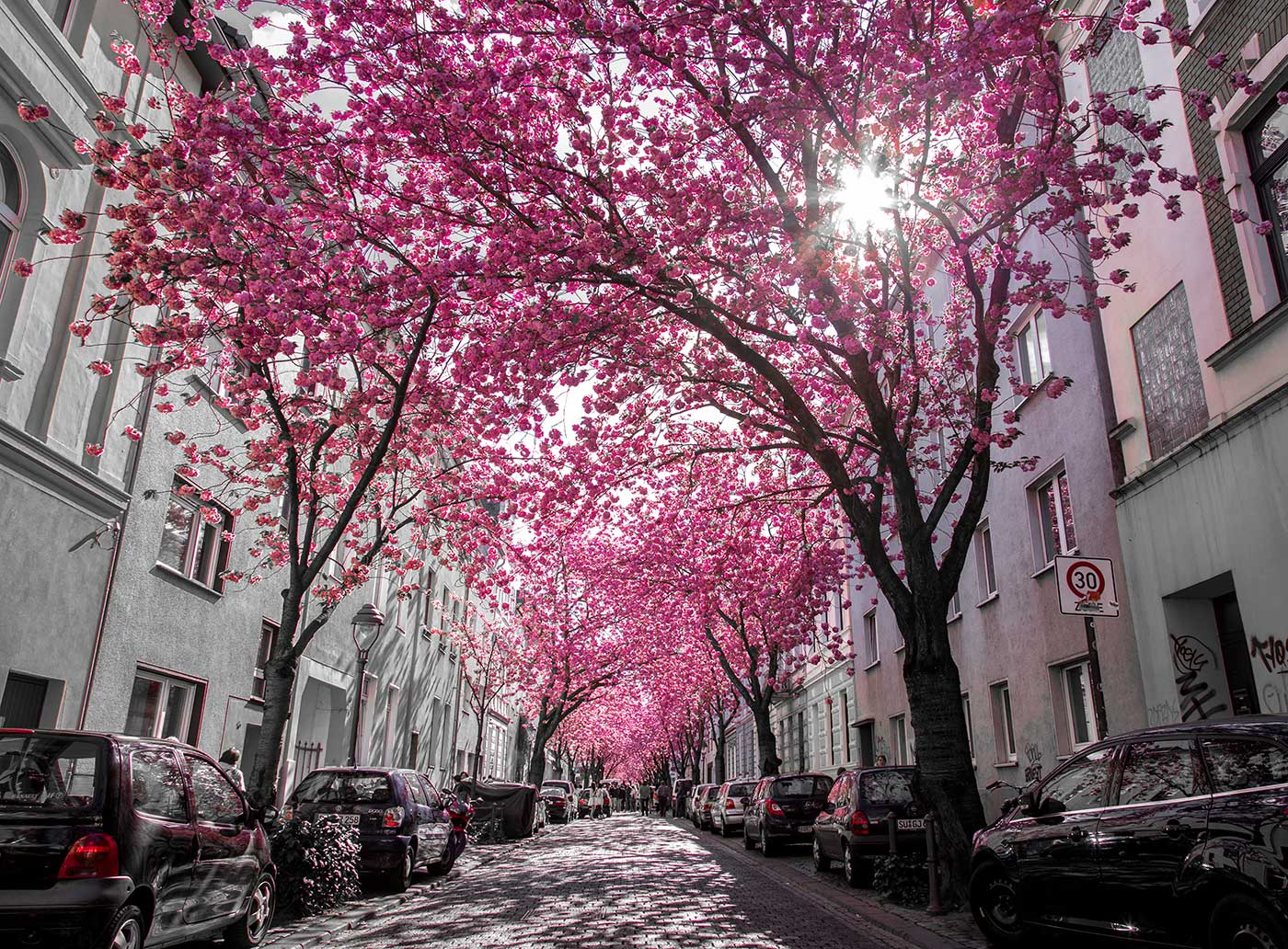 Cherry Blossem Avenue