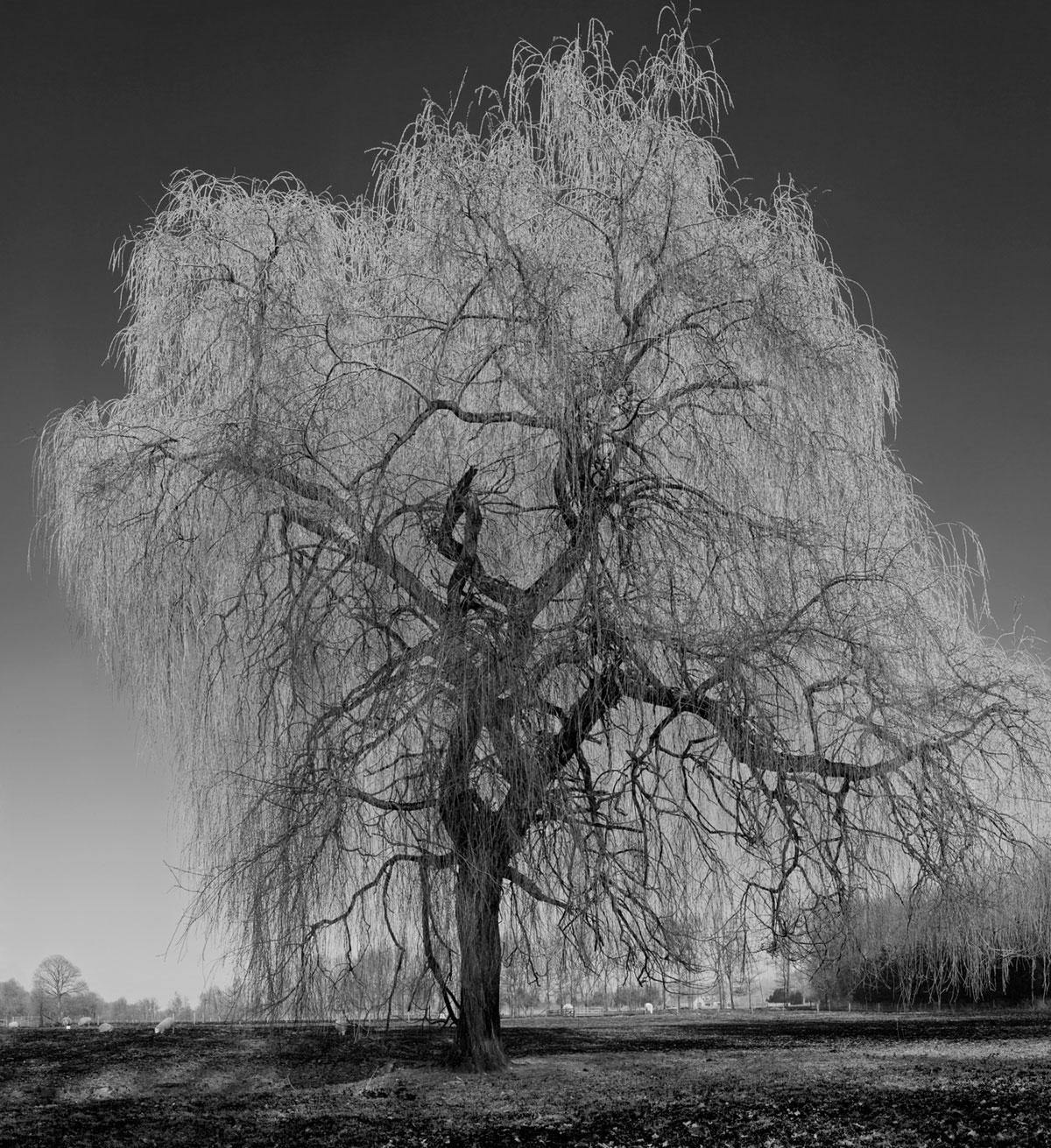 Serenety Willow